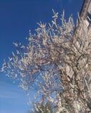Apple-träd i blom på himmelbakgrunden royaltyfri bild