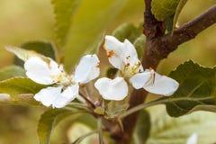 Apple träd i blom, vår Arkivbild