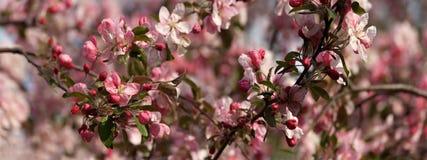 Apple träd i blomningpanorama Fotografering för Bildbyråer