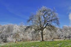 Apple träd i December Royaltyfria Foton