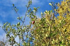 Apple träd i det mjuka ljuset för afton Moget äpple på filialen Royaltyfria Bilder