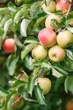 Apple träd i en fruktträdgård Royaltyfri Fotografi