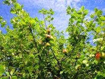 Apple träd i sommar Royaltyfri Foto