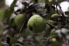 Apple träd i trädgården Arkitektur i natur Fotografering för Bildbyråer