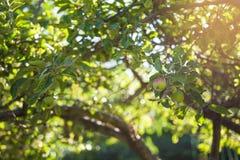 Apple träd med frukter Royaltyfri Foto