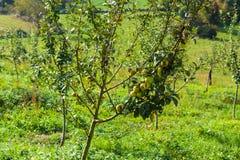 Apple träd med små gröna äpplen för äppeljuice grensle royaltyfri fotografi