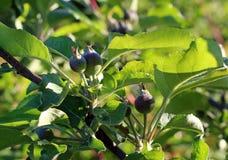 Apple träd med små växande äpplen Fotografering för Bildbyråer