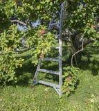 Apple träd med stegen Arkivbilder
