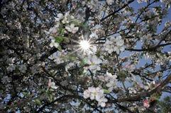Apple träd med vit- och rosa färgblommor Arkivbild