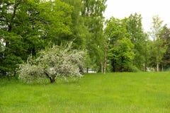 Apple träd på äng Arkivfoto
