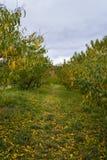 Apple träd på McGlassons lantgård i Hebron, KY Arkivfoto