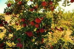 Apple träd & plockning Royaltyfria Bilder
