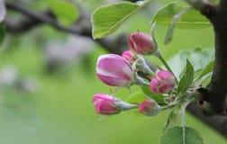 Apple träd som blomstrar över grön bakgrund arkivbilder