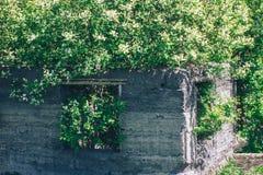 Apple träd som växer i det tillåtna brutna gamla huset Royaltyfria Bilder
