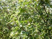 Apple träd utanför i trädgård Royaltyfri Foto
