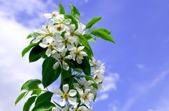 Apple-trädet filialen i blommor blomstrar på våren mot bakgrunden av moln och den blåa himlen Arkivbild