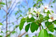 Apple-trädet filialen i blommor blomstrar på våren mot bakgrunden av moln och den blåa himlen Fotografering för Bildbyråer