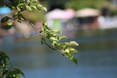 Apple trädfilial fotografering för bildbyråer