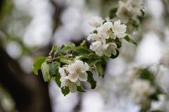 Apple trädfilial i blom i solig dag för vår arkivfoton