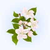 Apple trädfilial med blomma- och knoppvektorn Arkivfoto