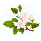 Apple trädfilial med blommatappningvektorn Royaltyfria Foton