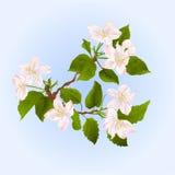 Apple trädfilial med blommavectorn Royaltyfri Foto