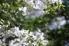 Apple trädfilial med härliga vita blommor, skjuten närbild royaltyfria foton