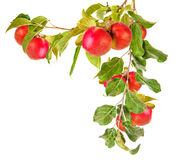 Apple trädfilial med isolerade sidor Royaltyfria Foton