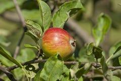 Apple trädfilial med nya saftiga frukter Royaltyfri Foto