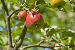 Apple trädfilial med nya saftiga frukter Arkivbild
