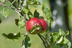 Apple trädfilial med nya saftiga frukter Arkivfoton