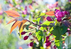 Apple trädfilial med rosa blommor naturträdgårdlandskap Fotografering för Bildbyråer