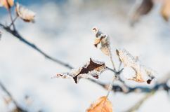 Apple trädfilial med sidor som täckas med rimfrost på en solig vinterdag royaltyfri fotografi