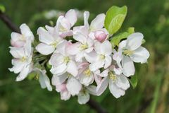 Apple trädfilial med vita blommor i vår Arkivfoton