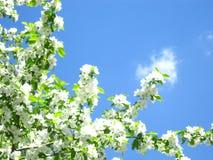 Apple trädfilial mot himlen Arkivfoto