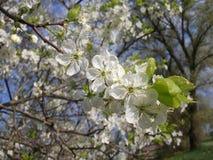 Apple trädfilialer i blomning Royaltyfria Foton