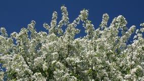 Apple trädfilialer mycket av att blomstra blommor lager videofilmer