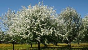 Apple trädfilialer mycket av att blomstra blommor arkivfilmer