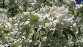 Apple trädfilialer mycket av att blomstra blommor stock video
