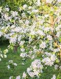 Apple trädfilialer mycket, rikt i blommor arkivbilder