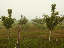 Apple trädgård i dimma royaltyfri foto