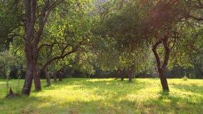 Apple trädgård, sommar arkivfilmer