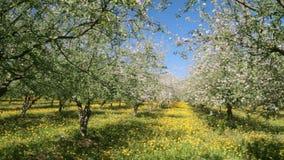 Apple trädgårdblomning stock video
