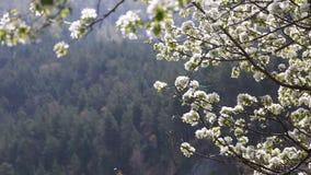 Apple tr?d blommar fullst?ndigt den soliga v?rdagen, gr?nt gr?s, arkivfilmer