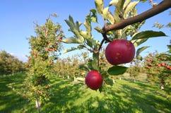 Apple tragen Früchte Lizenzfreie Stockbilder