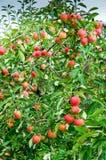 Apple träd Falstaff - fruktträdgård Royaltyfri Fotografi