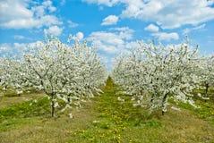 Apple träd i fruktträdgård Arkivfoto