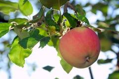 Apple on the tree 05 Stock Photo