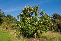 An apple tree Royalty Free Stock Photos