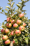Apple tree. Mature apples in a tree Royalty Free Stock Photo
